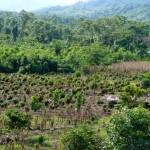 Zona de reflorestação na Amazónia peruana