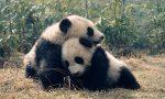 Adote um panda com a ANP WWF